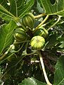 Ficus carica 'Panache'.jpg