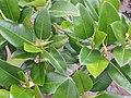Ficus macrophylla macrophylla Desf. ex Pers. (AM AK309527-3).jpg