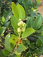 Ficus microcarpa.jpg