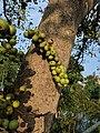 Ficus racemosa 08.jpg