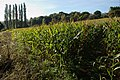 Field of maize south of Holbrook - geograph.org.uk - 591270.jpg