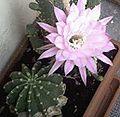 Fiore di cactus-wiki.jpg