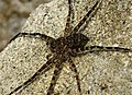 Fishing Spider, Dolomedes species possibly D. tenebrosus (29004379468).jpg
