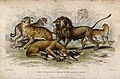 Five different specimen of cats shown fighting for the prey. Wellcome V0021269.jpg