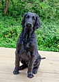 Flat-Coated Retriever front.jpg