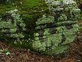 Flavoparmelia caperata - Flickr - pellaea (6).jpg
