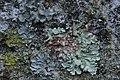 Flavoparmelia soredians and Punctelia cf. subrudecta (27959348829).jpg
