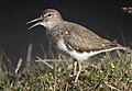Flickr - Rainbirder - Common Sandpiper (Actitis hypoleucos).jpg