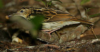 Flickr - Rainbirder - Sokoke Pipit (Anthus sokokensis) with a snail