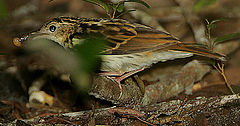 Flickr - Rainbirder - Sokoke Pipit (Anthus sokokensis) with a snail.jpg