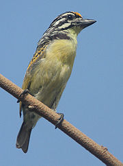Flickr - Rainbirder - Yellow-fronted Tinkerbird (Pogoniulus chrysoconus)