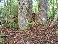 Flickr - brewbooks - Waipoua Forest (28).jpg