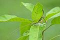 Flickr - ggallice - Leaf katydid (2).jpg