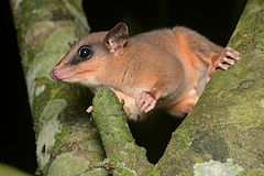 240px flickr   ggallice   mouse opossum
