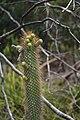 Flora do Parque Nacional Serra da Capivara (9416).jpg