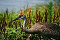 Florida sandhill crane 1.jpg