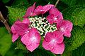 "Flower, Hydrangea ""Fazan"" - Flickr - nekonomania.jpg"