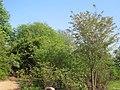 Flowering cherry tree, Botanic Gardens - geograph.org.uk - 1178306.jpg
