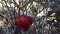Flowering laghouat.jpg