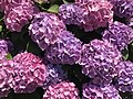 Flowers of Hydrangea macrophylla 20180602.jpg