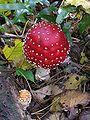 Fly Agaric mushroom 3.jpg