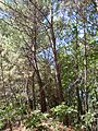 Forêt de la Coubre 011.jpg