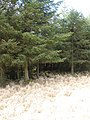 Forestry north of Tarbert - geograph.org.uk - 760058.jpg