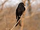 Fork-tailed Drongo RWD.jpg