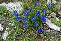 Frühlingsenzian (Gentiana verna), Nationalpark Hohe Tauern, Kärnten.jpg