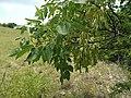 Fraxinus albicans.jpg