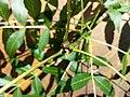 Fraxinus angustifolia subsp. danubialis sl4.jpg