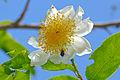 Fried Egg Flower (Oncoba spinosa) (16351814089).jpg
