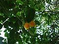 Fruta da cajarana.JPG