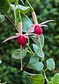 Fuchsia 'Popsie Girl'.jpg