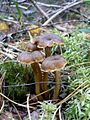 Funnel chanterelles mushroom.jpg