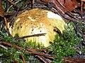 Gąska zielonka DSCN5169 edited.jpg