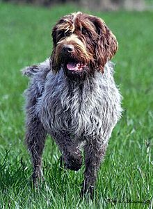 Image result for wirehaired pointing griffon