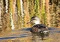 Gadwall on Seedskadee National Wildlife Refuge (37725282616).jpg