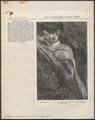 Galago senegalensis - 1866 - Print - Iconographia Zoologica - Special Collections University of Amsterdam - UBA01 IZ19700155.tif