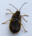 Galerucella nymphaeae 04.png