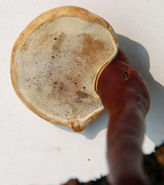 File:Ganoderma-lucidum-(Fastiv)-hymenophore.jpg