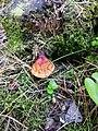 Ganoderma lucidum 74321270.jpg