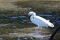 Garceta Pie Dorado, Snowy Egret, Egretta thula (11915314433).jpg