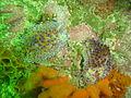 Gas flame nudibranchs at Blouklip DSC08863.JPG