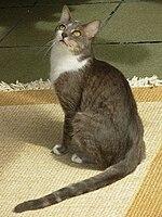 Бразільская короткошерста кошка