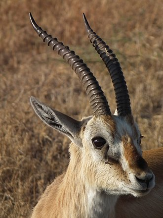 Thomson's gazelle - The close-up of male's head: The male of Thomson's gazelle  can distinguished by horns that are bigger and longer than those of female.