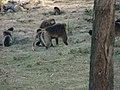 Gelada Baboons, Debre Libanos, Ethiopia,2002 - panoramio.jpg