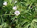 Geranium dissectum01.jpg