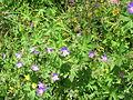 Geranium sylvaticum001.jpg
