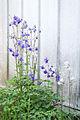 Gewöhnliche Akelei (Aquilegia vulgaris) (18753169806).jpg